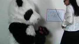 دب الباندا يأخذ اثنين من الديكة السوداء الضخمة